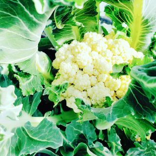 It's a chilly Saturday, but the cauliflower growing at the George Jones Memorial Farm are loving it. Mashed, roasted or raw - these versatile little veggies make a great addition to any meal. Get yours at the first outdoor market of the season next Saturday, May 15th, at the @oberlinfarmersmarket, located in front of the Oberlin Public Library from 9am-12pm. We'll see you there 🍅🥬
