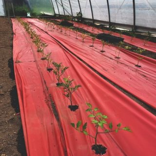 """The tomatoes have been transplanted and are on their way up over at George Jones Memorial Farm. Each plant is spaced 18"""" apart and the durable red plastic helps to produce higher yields and stronger stems. Are you dreaming of tomato recipes galore, yet? 🍅   City Fresh season starts June 15th! Order your shares at cityfresh.org today."""